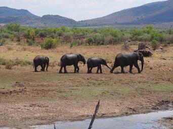 elephant_flock_baby_elephant