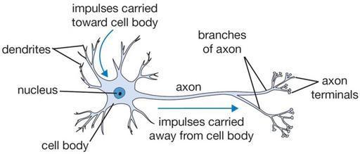 neuron_t_png