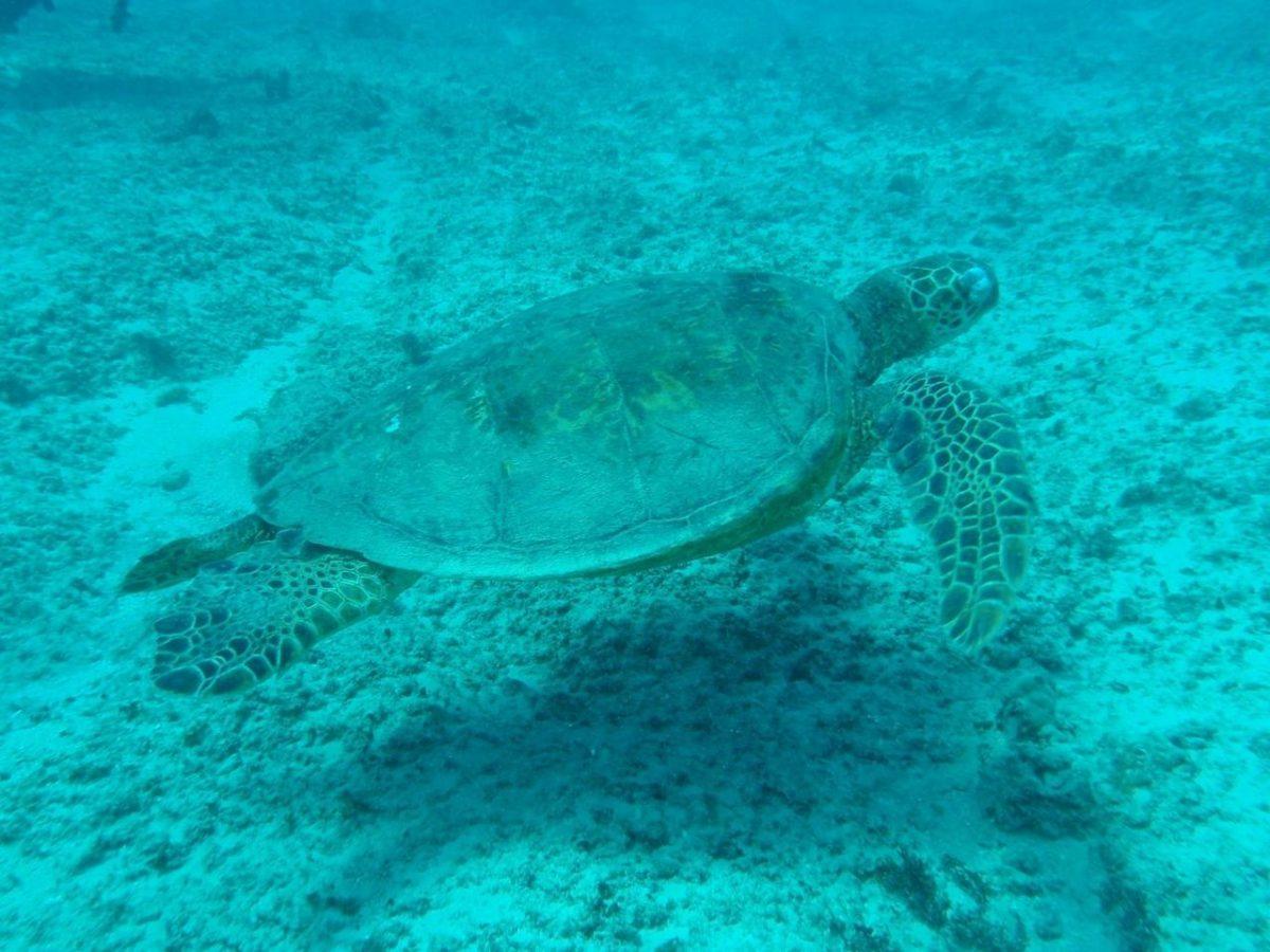 turtle_sea_sea_turtle_1